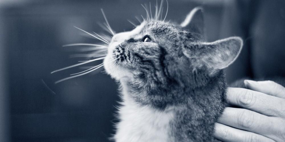 schildklier kat