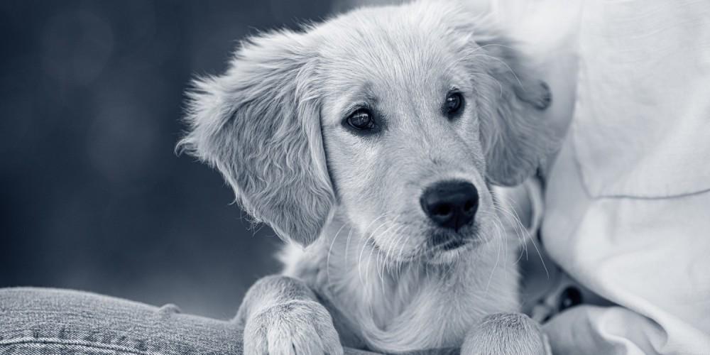 Golden retriever puppy op schoot
