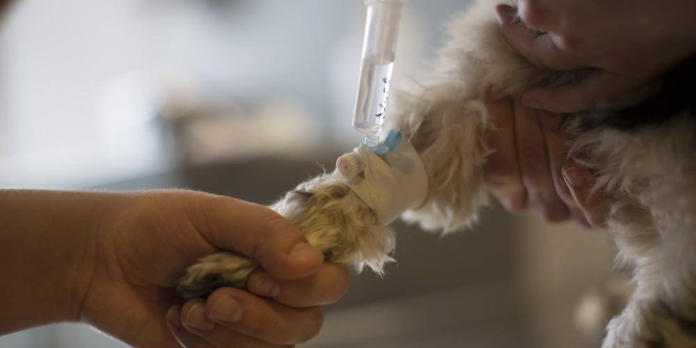kattenpootje infuus