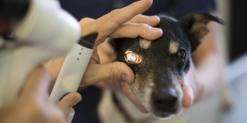 onderzoeken oog hond