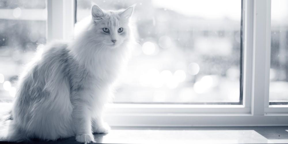 kat op de vensterbank
