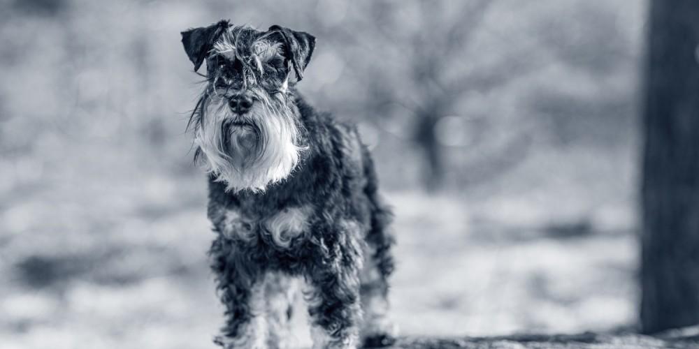 Hondenras Dwergschnauzer