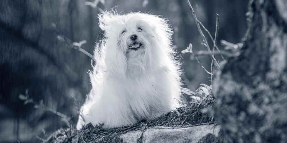Hondenras coton de Tuléar