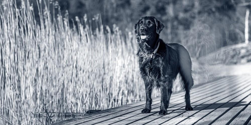 hond flatcoated retriever