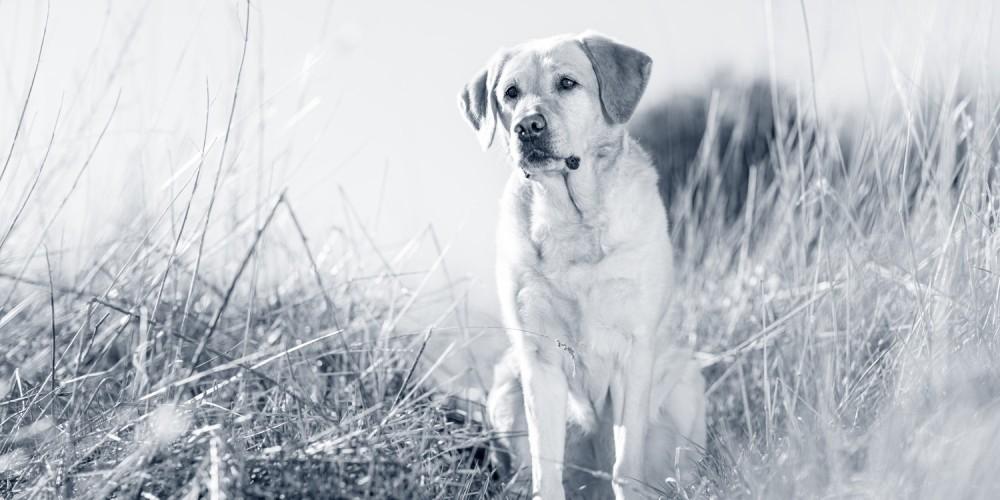 hond labrador retriever