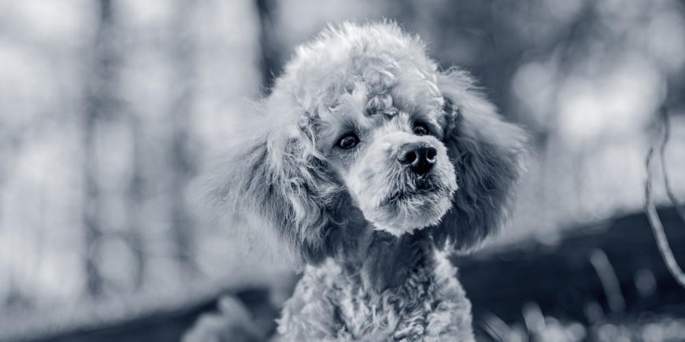 hond poedel