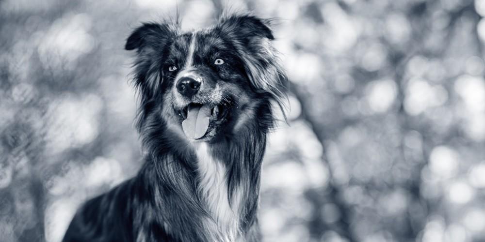hond australian shepherd