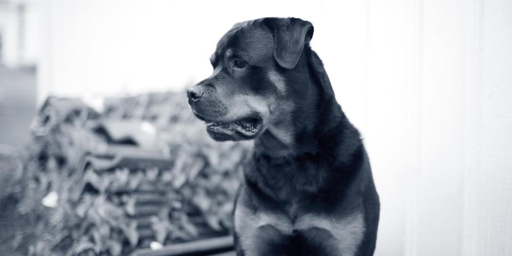 hond rottweiler