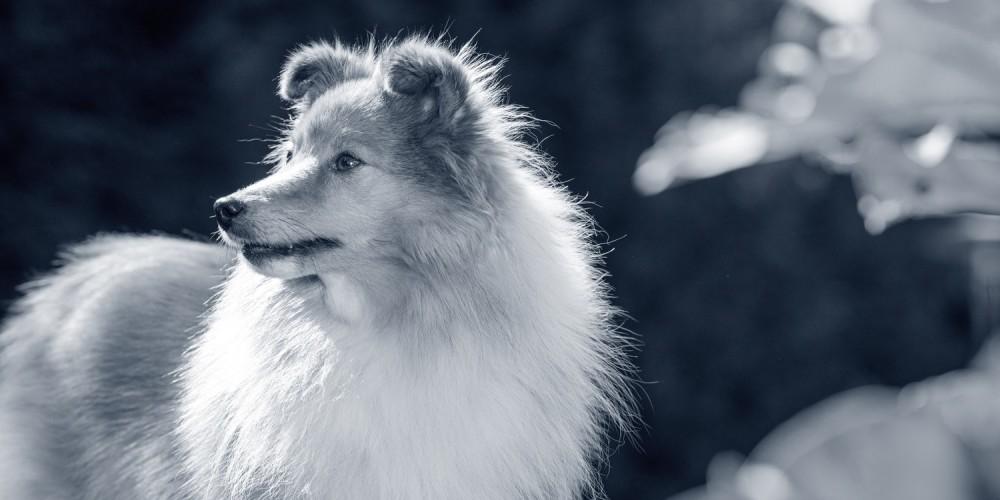 Hondenras Sheltie
