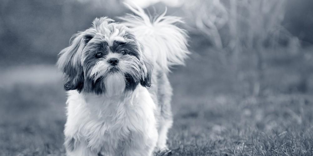 hond shih tzu