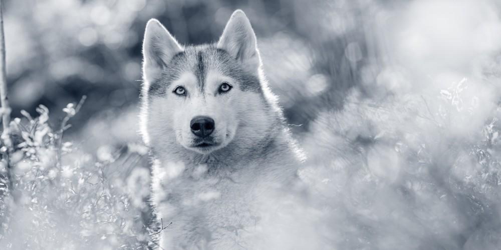 Hondenras Siberische husky