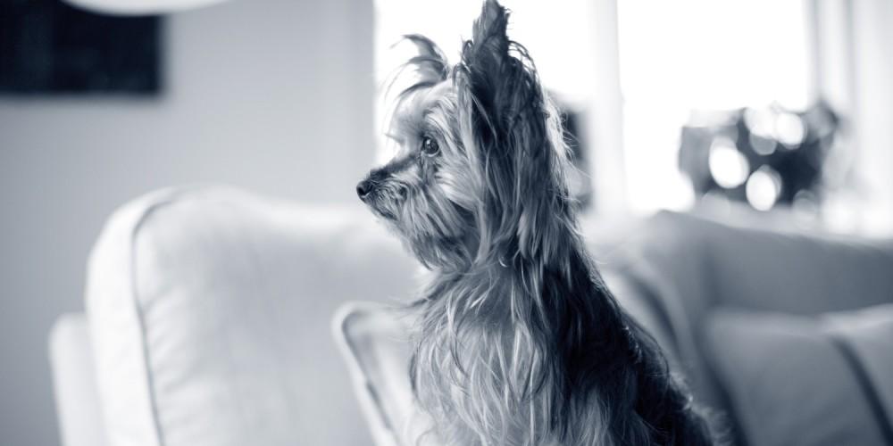 yorkshire terrier hond