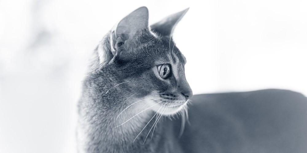 kat abessijn