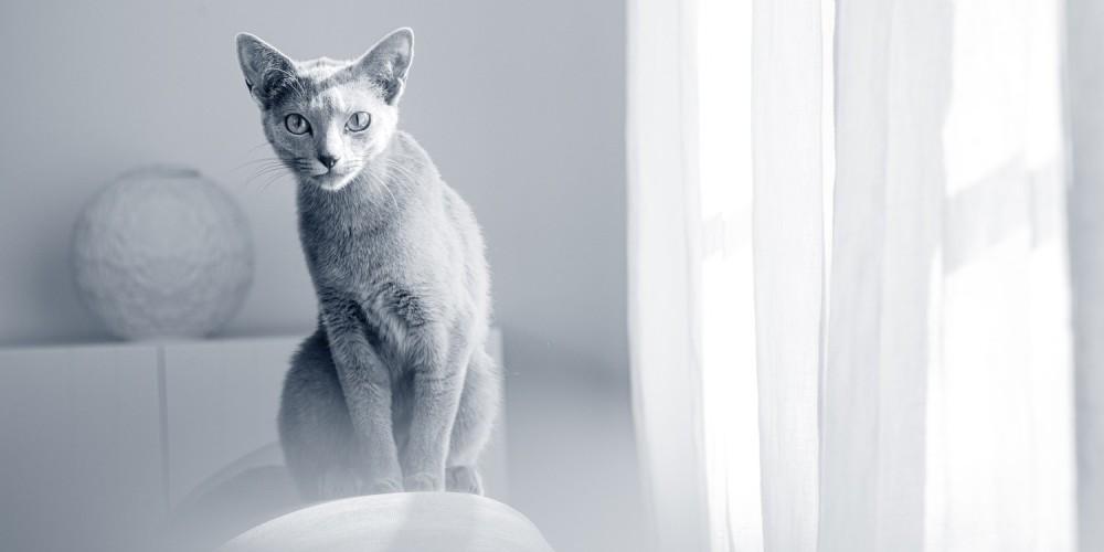 kat blauwe Rus