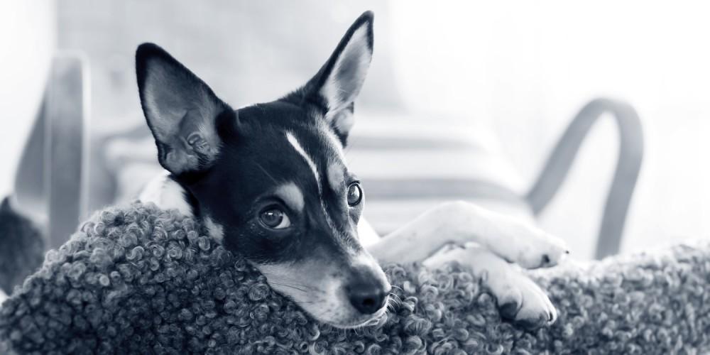 Hond atopie