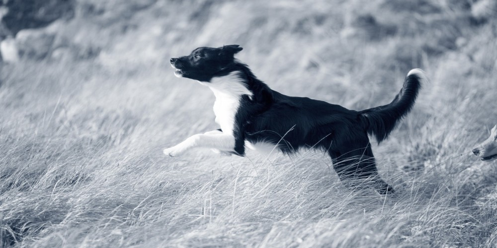 hond in veld
