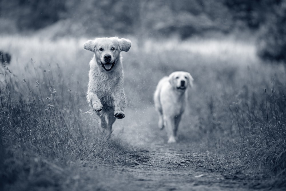 2 rennende honden