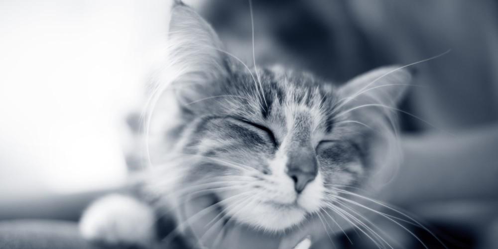 spinnende kat