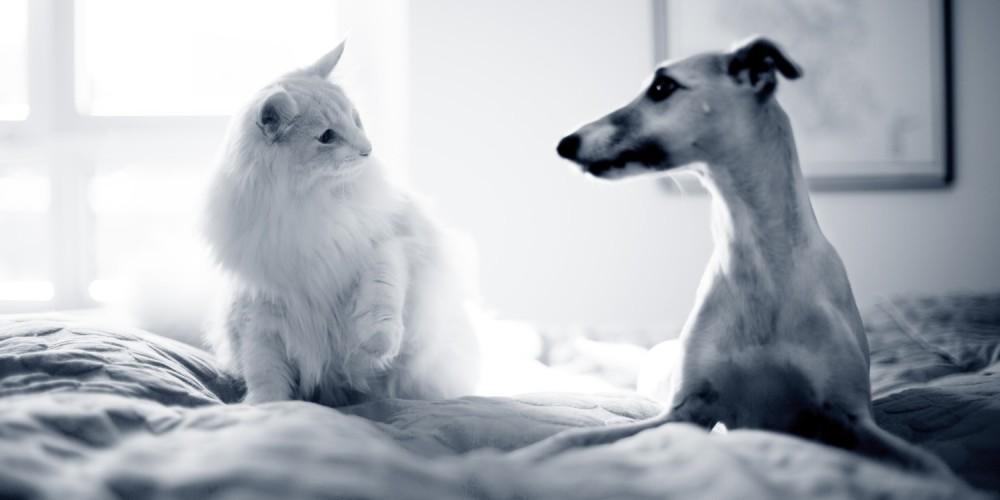 hond kat op bed