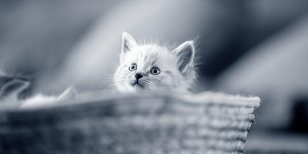 kitten mand