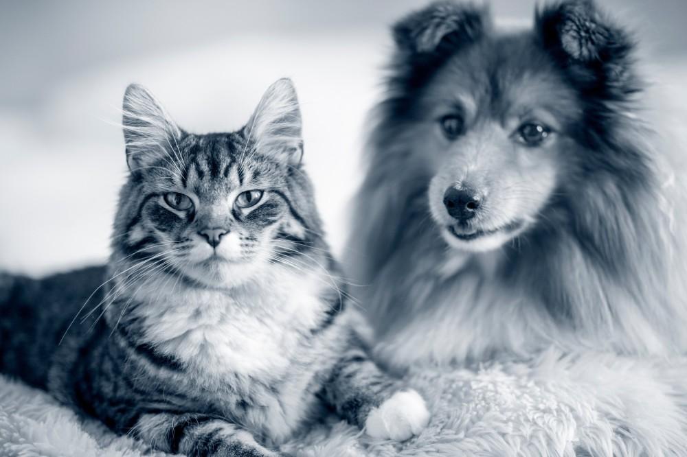 Hvordan gi øyedråper til dyr?