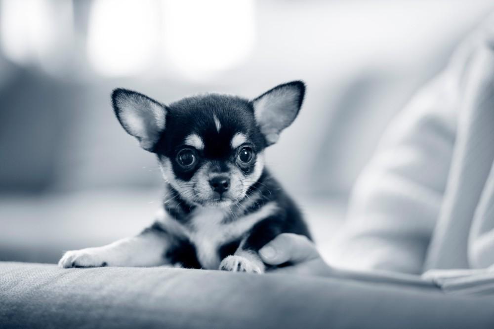 Chihuahua puppy AniCura