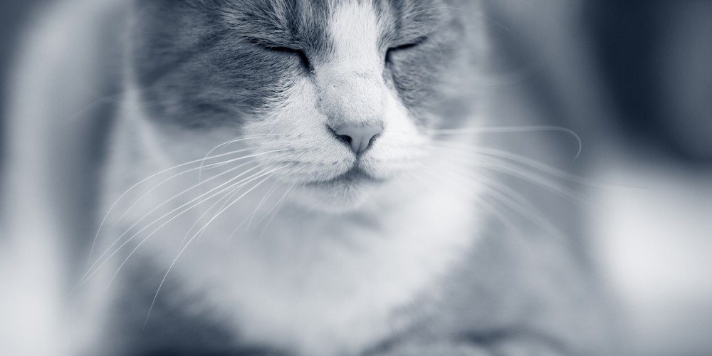 Borsta tänderna på katt