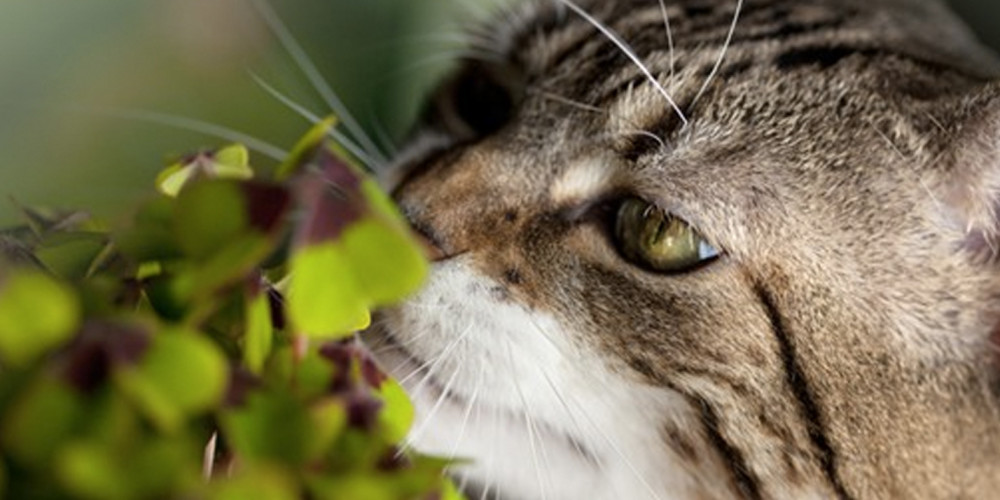 är julstjärnor giftiga för katter