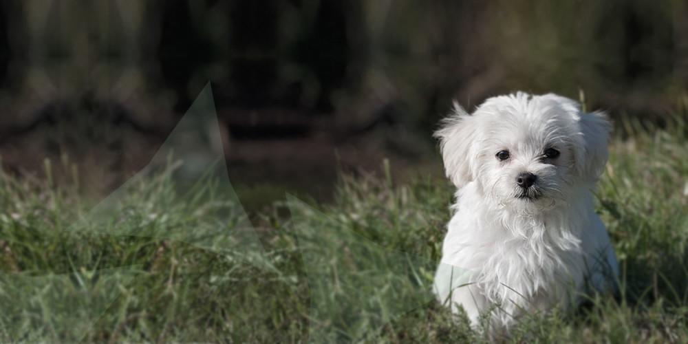 Malteser hondje buiten