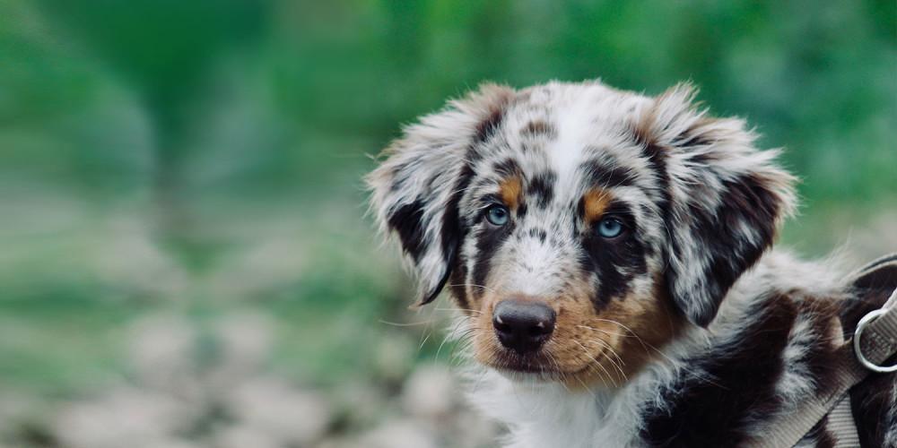 Pup australische herder