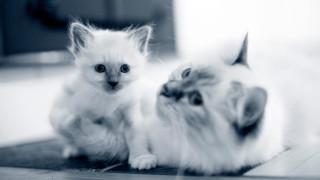 Birma katt med kattunge