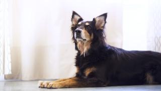 liggende hond