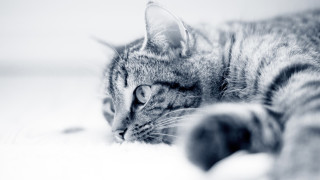Katte og coronavirus