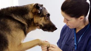 fysioterapeut undersöker tassen på en schäfer hund