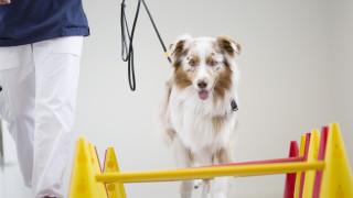 australian sheperd hund går över cavalettibommar