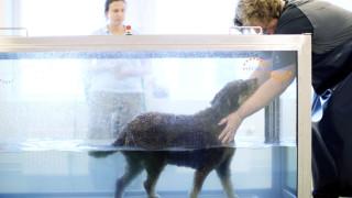 lagotto hund lär sig att gå i vattentrask water treadmill