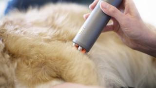 gulbrun hund får behandling med värme