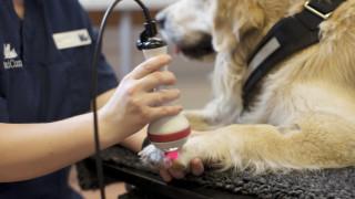 golden retriever hund får behandling med laser av fysioterapeut