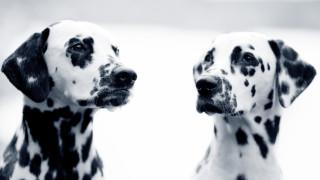 svartvit bild på två dalmatiner hundar huvuden som tittar åt varsitt håll