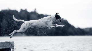 svartvit bild på prickig hund som hoppar ut i vattnet