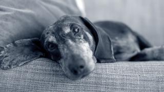 hund på sidan i soffan