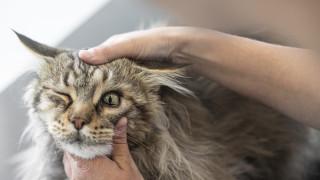 veterinär undersöker ett öga på en katt