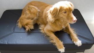 gulbrun hund tollare duck tolling retriever på vibrationsplatta