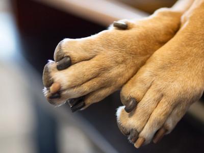 ringorm hos hund