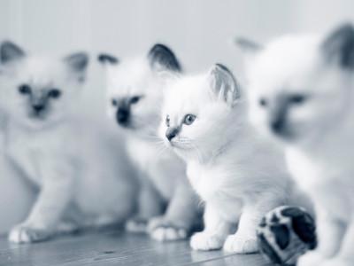 birma kattungar birmakattungar