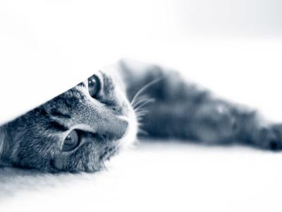 Katt tittar fram under filt