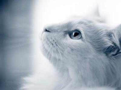 Vit katt tittar upp