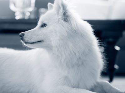 White dog lying down