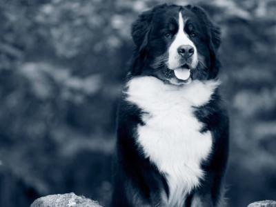 Berner Sennen hund