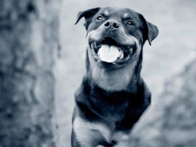 Glad rottweiler hund